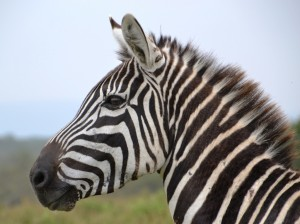 zebra-närbild-300x224